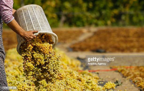 A farmer lays out the harvested grapes from vineyards for sundrying onto a land at high hills of the Sarigol district of Manisa Turkey on September...