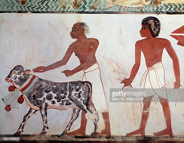 A farmer leading a calf to sacrifice mural Tomb of Menna also known as Tomb TT69 dating back to the reign of Thutmose IV Sheikh Abd elQurna Theban...