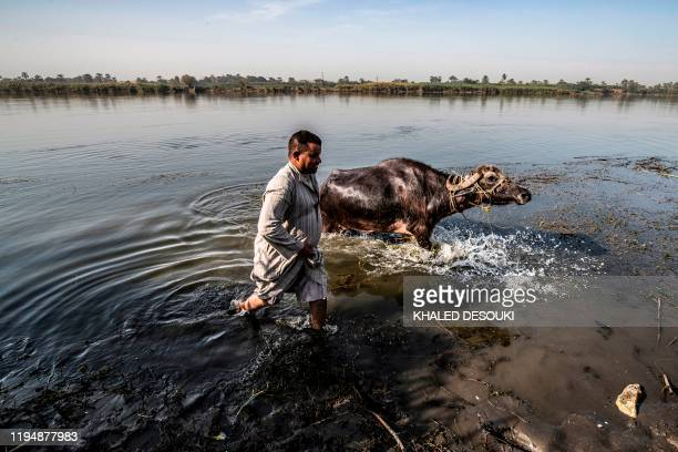 A farmer leads a buffalo to drink from the Nile river in the village of Gabal alTayr north of Egypt's southern city of Minya on November 13 2019