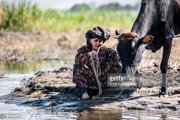 A farmer leads a cow to drink from the Nile river in the village of Gabal alTayr north of Egypt's southern city of Minya on November 13 2019