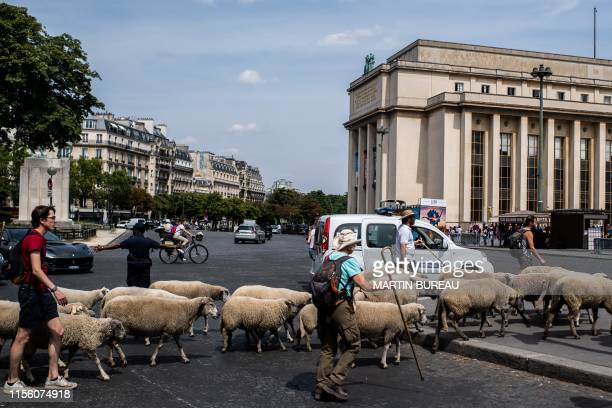 A farmer leads sheep during an urban transhumance in Paris on July 17 2019 The shepherds of SeineSaintDenis and their herd begin on July 6 2019...