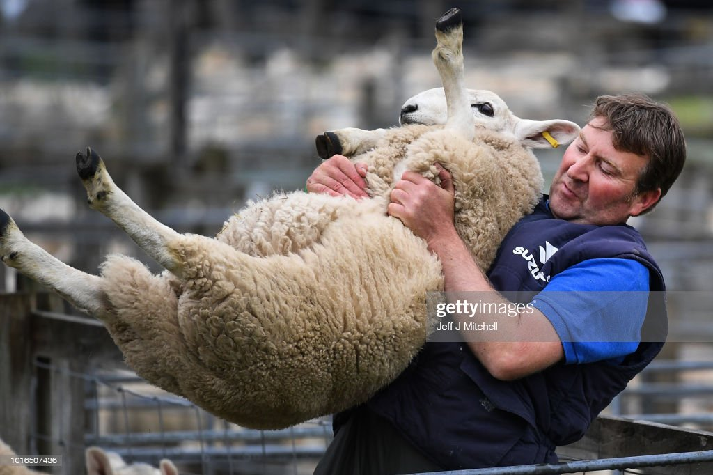 Largest One Day Sheep Sale Takes Place In Lairg