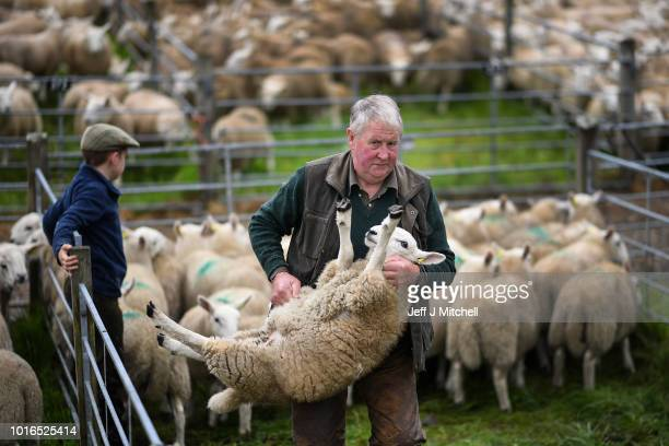 A farmer lifts a sheep at Lairg auction for the great sale of lambs on August 14 2018 in Lairg Scotland Lairg market hosts the annual lamb sale which...