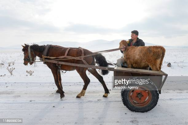 A farmer living in Digor district of Kars carries a calf with a carriage on December 19 2019 in Kars Turkey High altitude areas among Igdir and Kars...