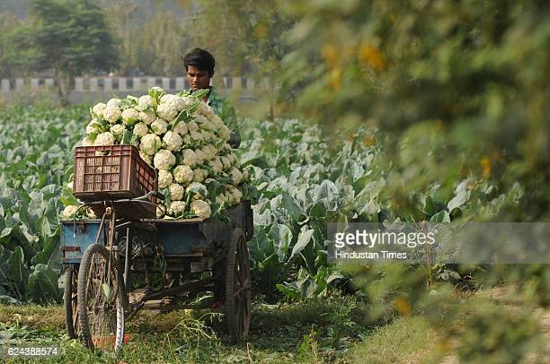 A farmer loading cauliflower crops for sell in market on November 19 2016 in Noida India Farmers report a steep fall in vegetable wholesale prices...