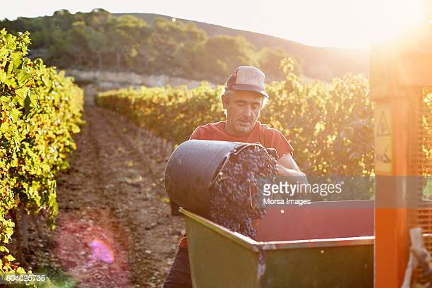 farmer loading container at vineyard - viniculture stock pictures, royalty-free photos & images