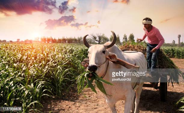 farmer loading & riding bull cart outdoor in the field - sorghum stock pictures, royalty-free photos & images