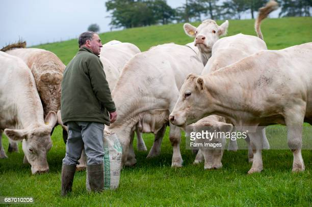 Farmer looking at his herd of Charolais cattle.