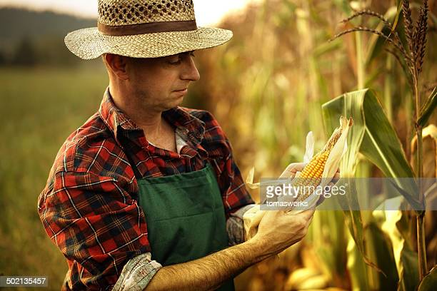 farmer looking his maize plant - corn stock pictures, royalty-free photos & images