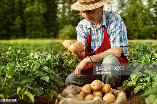 farmer looking his potato harvest at field row - raw potato stock pictures, royalty-free photos & images