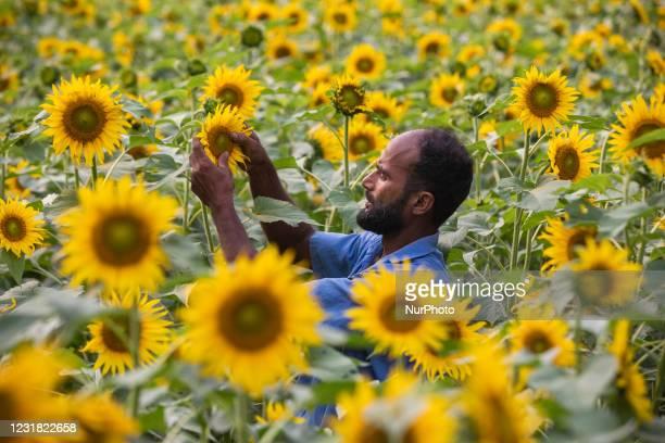 Farmer looks after his sunflower flied in Kishoreganj on March 19, 2021.