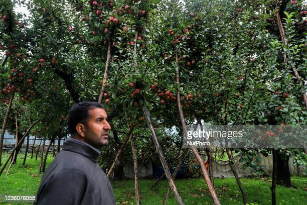 Farmer looks towards the Apple trees in Distress after Rain and Snowfall in Kashmir valley before the Harvesting was done in Sopore, Distict...