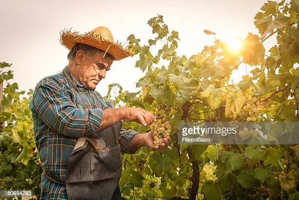 Farmer man cutting a grape bunch with scissors