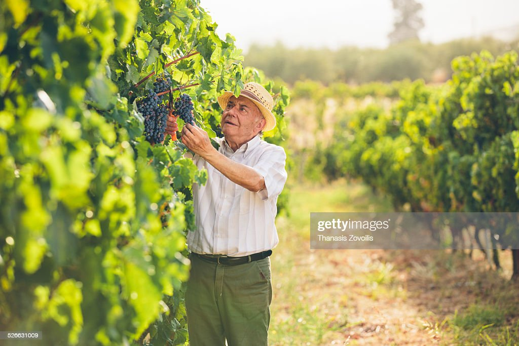 Farmer man cutting a grape bunch with scissors