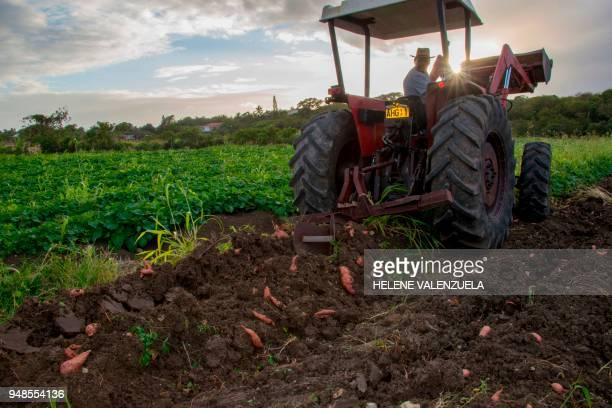 Farmer Marcel Kichenassamy works on his family's sweet potato plantation in Dubedou SaintFrancois on the French overseas territory of Guadeloupe on...