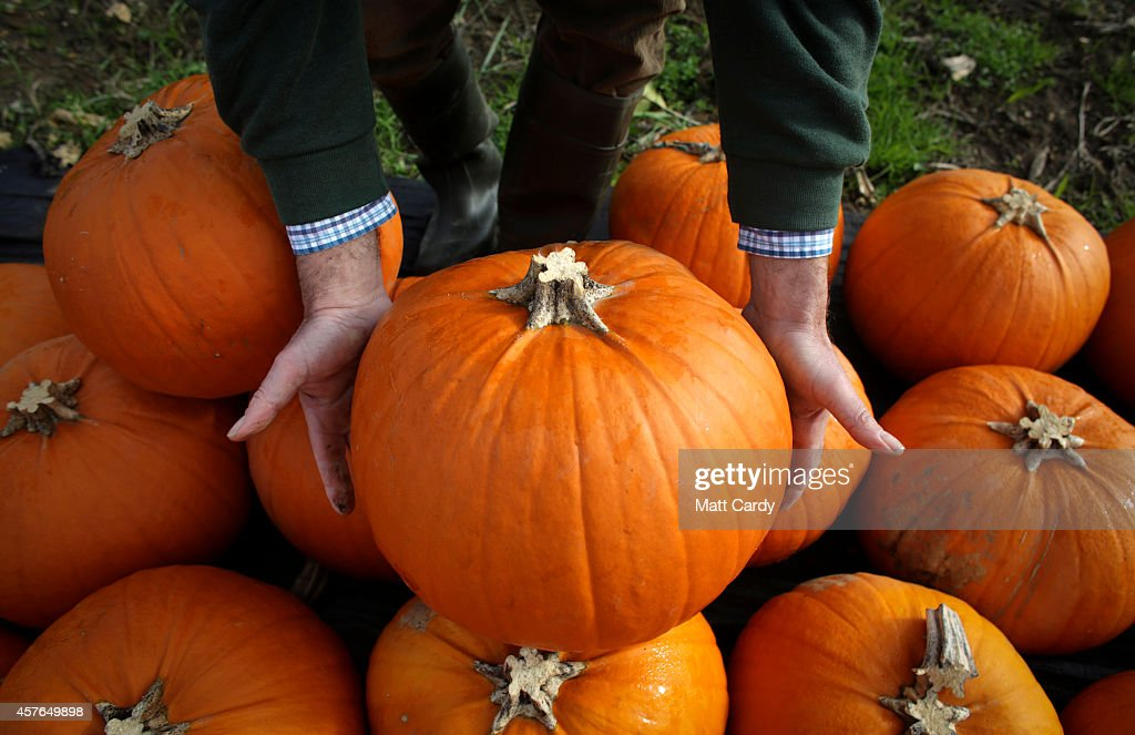 Farmer Mick Smales inspects a pumpkin that has grown on his farm and is waiting to be picked and dispatched in a field at Lyburn Farm in Landford on October 22, 2014 in Wiltshire, England. Although some farmers have been warning of a pumpkin shortage due to the recent wet weather, the main supermarkets are confident of meeting demand which has increased as the popularity of Halloween grows in the UK. Out of the 10 million pumpkins it is estimated that will be grown this year, the majority will be made into Halloween lanterns.