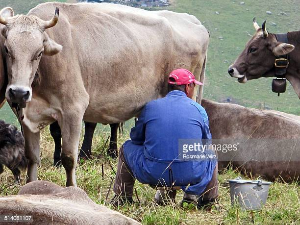 farmer milking cows - mann beim melken stock-fotos und bilder