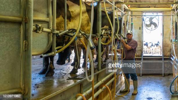 landwirt milchkühe melken - mann beim melken stock-fotos und bilder