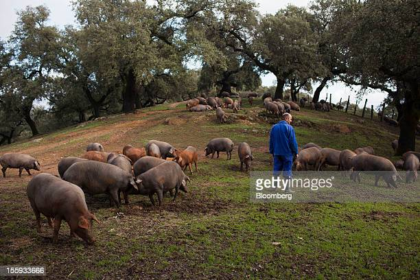 A farmer moves Iberian pigs across pasture operated by Cinco Jotas in Aracena Spain on Friday Nov 9 2012 Spain's passion for the drycured meat known...