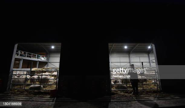 Farmer Mr Platt inspects his sheep at Platts Farm on February 26, 2021 in Macclesfield, England. Limited supplies and cold weather have increased the...