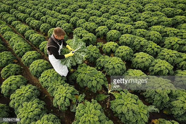 Farmer Oliver Gade crops curly kale on a field in Bardowick northwestern Germany on October 27 2008 The plant nicknamed 'Frisian Palm' is a...