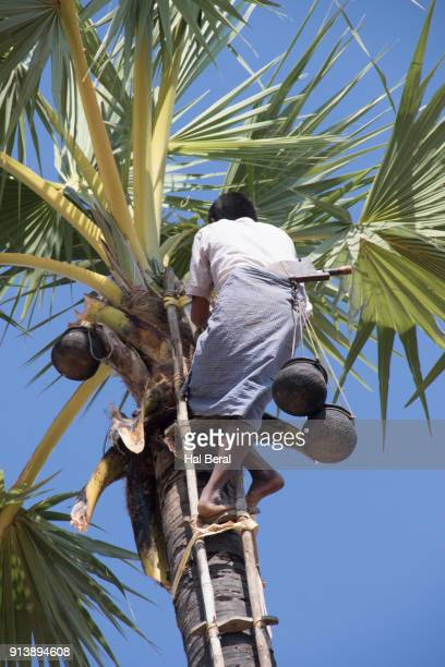 Farmer on bamboo ladder collecting palm tree sap