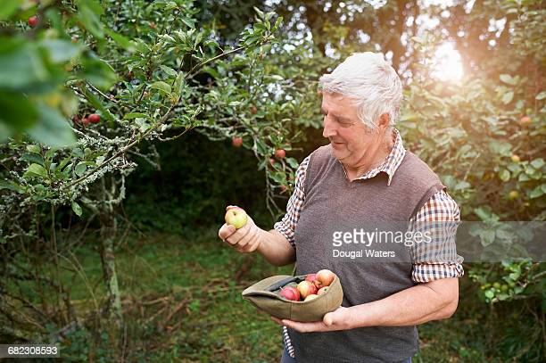 Farmer on orchard with freshly picked apples.