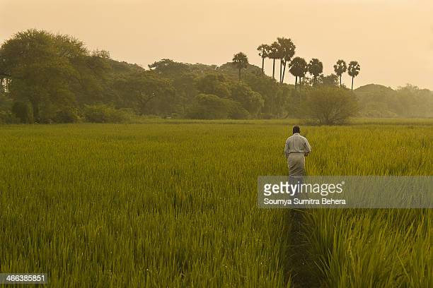 Farmer on the Field of Paddy setting proper irrigation of water.