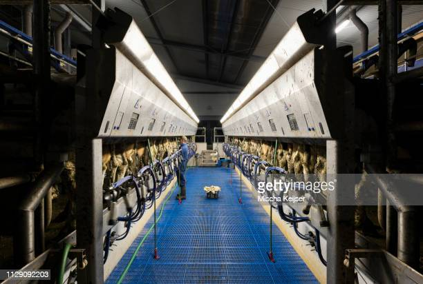 farmer operating modern milking machine in early morning, wyns, friesland, netherlands - dairy farm stock pictures, royalty-free photos & images