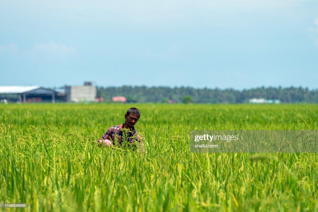 Farmer over paddy fields. : Stock Photo