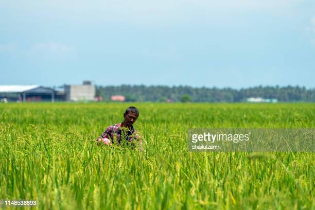 farmer over paddy fields. - shaifulzamri stock-fotos und bilder
