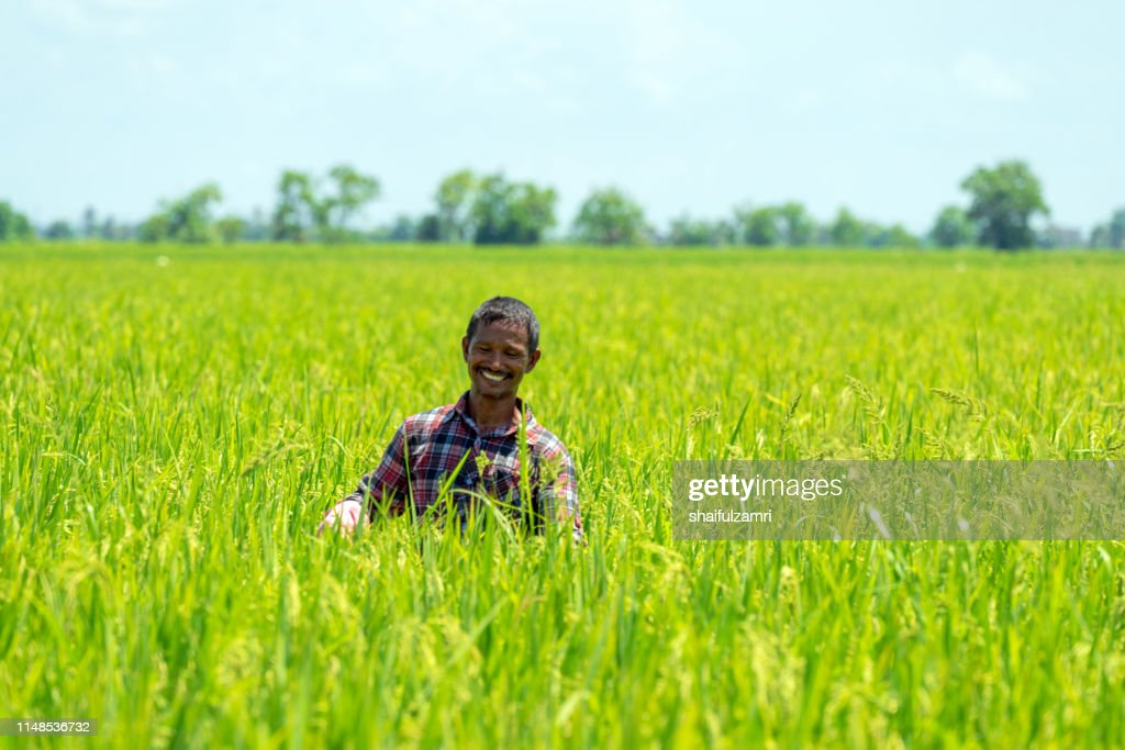 Farmer over paddy fields. : Stock Photo