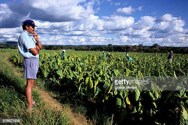 Farmer Overseeing Harvesters in Tobacco Field