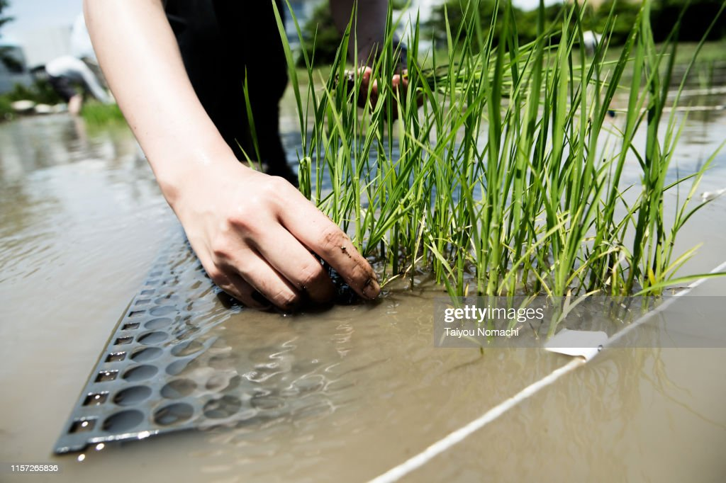 Farmer people planting rice fields : Stock Photo