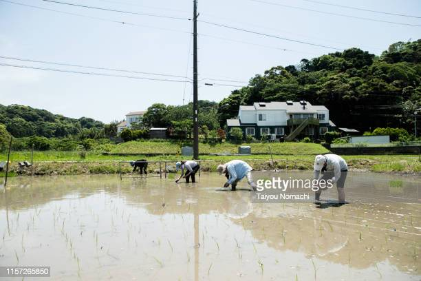 farmer people planting rice fields - 水田 ストックフォトと画像
