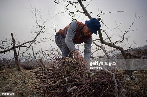 A farmer performs a winter pruning of peach trees in Songpeng village China on Tuesday Dec 9 2008 Forty years after Mao Zedong forced millions of...