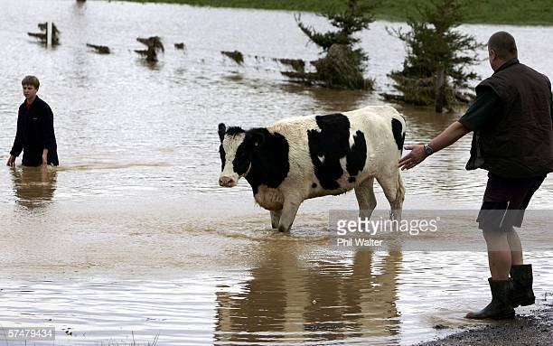 Farmer Pete Shields and his son Liam try to persuade a cow out of the floodwaters on their property April 28 2006 in Paeroa New Zealand Parts of the...