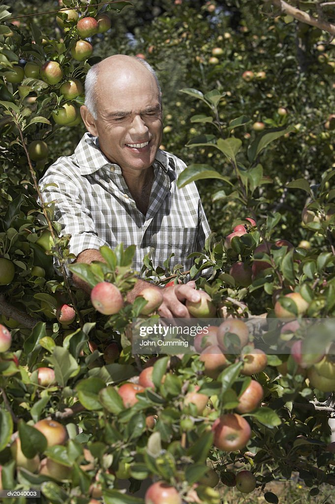 Farmer Picking an Apple in an Apple Tree : Stock Photo
