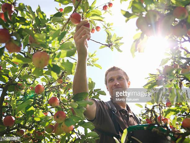 farmer picking apples in orchard - apple fruit stock photos and pictures