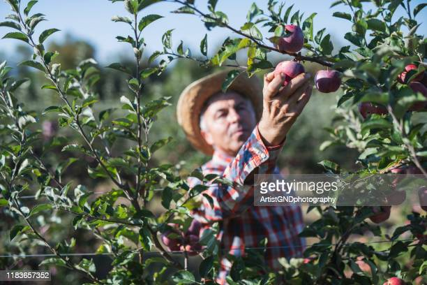 farmer picking apples in orchard. - agricultural occupation stock pictures, royalty-free photos & images