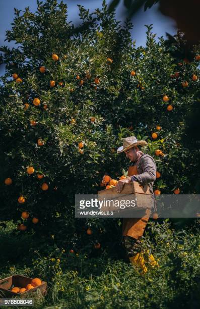 farmer picking fresh orange produce from orange trees in grove - orange orchard stock pictures, royalty-free photos & images