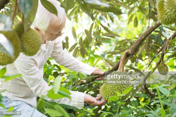 farmer picking fruit in farm - durian stock pictures, royalty-free photos & images