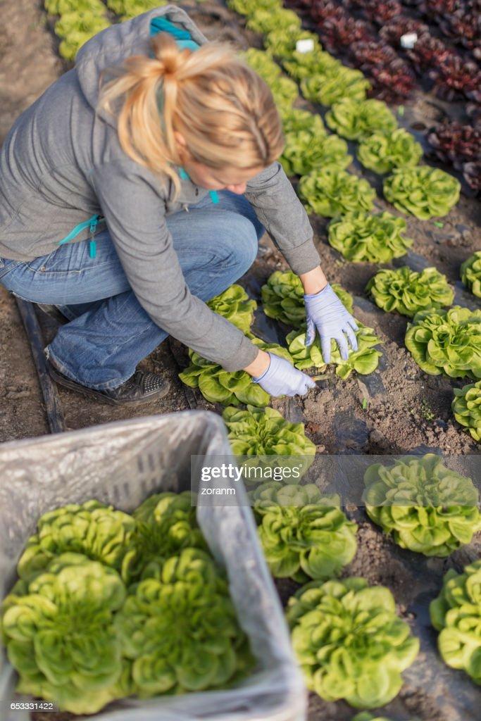 ピッキングの葉レタス農家 : ストックフォト
