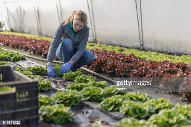 farmer picking lettuce - lettuce stock pictures, royalty-free photos & images