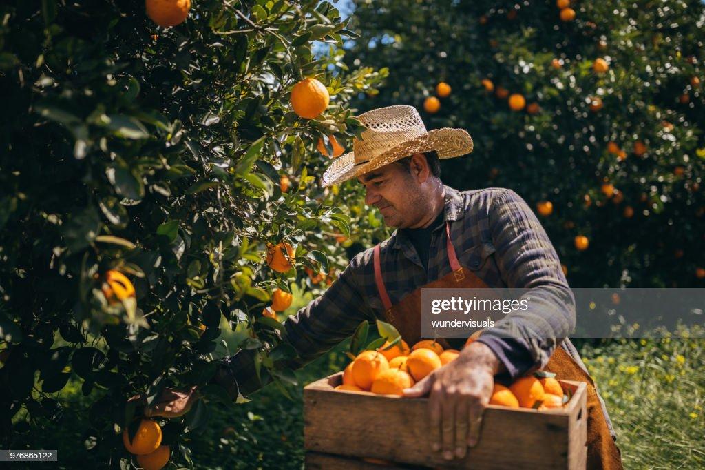 Farmer picking ripe oranges from orange trees in orange grove : Stock Photo