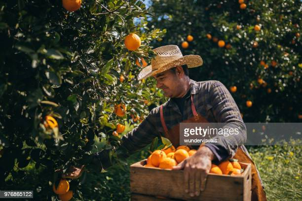 farmer picking ripe oranges from orange trees in orange grove - orange orchard stock photos and pictures