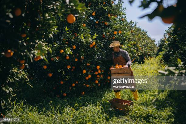 farmer picking ripe oranges in orange orchard during harvest period - orange orchard stock pictures, royalty-free photos & images