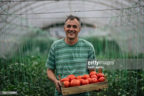 farmer picking tomato in greenhouse - serbia stock pictures, royalty-free photos & images