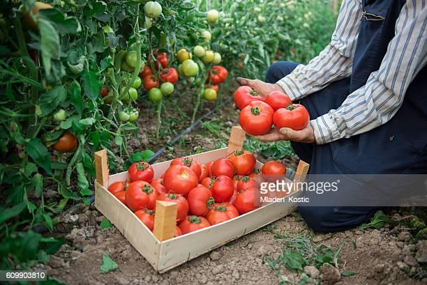 farmer picking tomatoes from his garden - trabalhador rural - fotografias e filmes do acervo