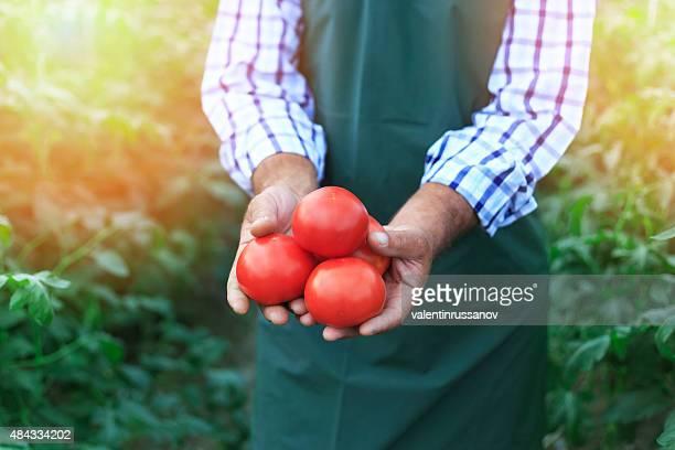 Farmer Picking Tomatoes
